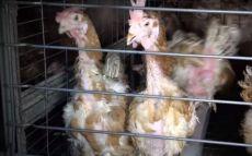 poules sauvées